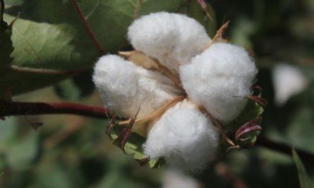 Exhortan autoridades a realizar labores sanitarias en cultivos de algodón