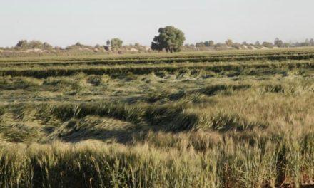 Informa la SADER sobre daños por acame en el cultivo del trigo