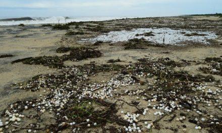 'Narda' destruye ocho millones de huevos de tortuga golfina